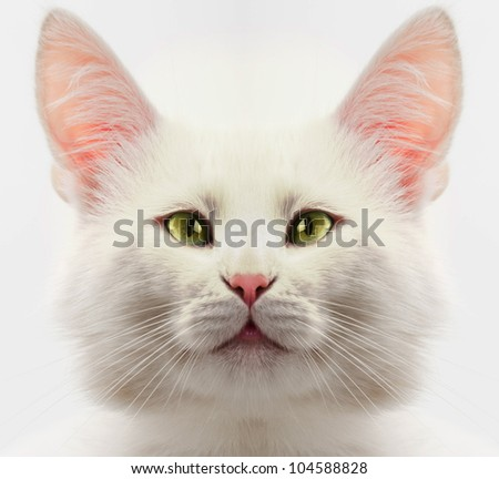 white cat with blue eyes close up - stock photo