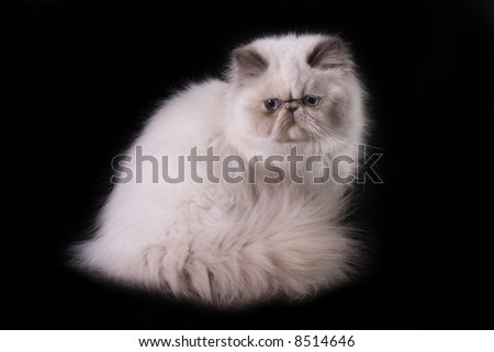 White cat with blue eyes over black
