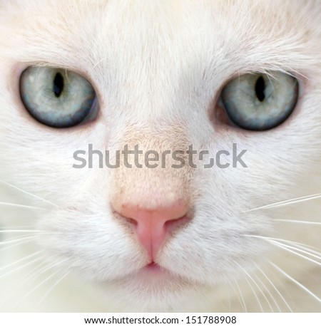 White cat with blue eyes portrait - stock photo