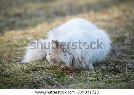 White cat With 2 Different-Colored Eyes sitting on the grass
