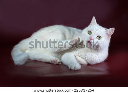 White cat with green eyes lying on burgundy background