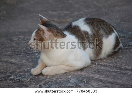 White cat with point brown color on cement floor.