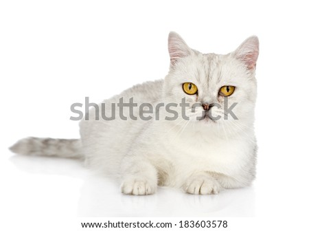 white cat with yellow eyes looking at camera. isolated on white background
