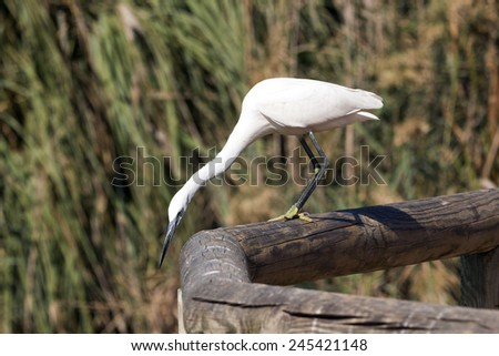 White cattle egret - stock photo