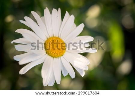 White chamomile flower macro / isolated on natural background - stock photo