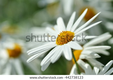 White chamomile flower macro with blur background