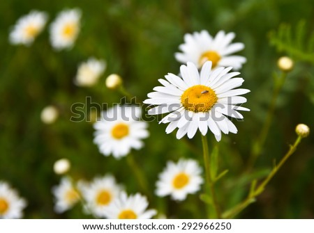 White chamomile flowers. Blooming wild Daisy in a meadow in early summer. - stock photo