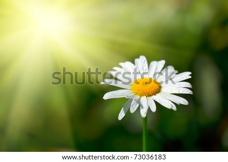 White chamomile with water drops macro in field - stock photo