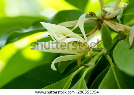 White Champaka are blooming on tree. (Michelia alba DC.) - stock photo