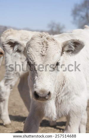 White Charolais calf headshot
