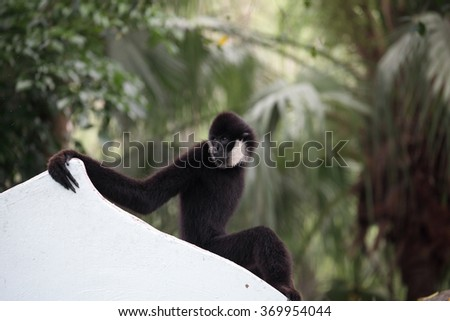 white Cheek Gibbon - stock photo