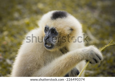 White cheeked gibbon - stock photo
