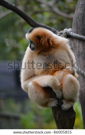 white cheeked gibbon and young one - stock photo