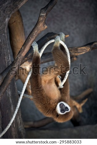 White-cheeked gibbon cute