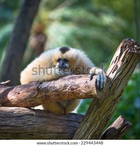 White Cheeked Lar Gibbon sitting antidepressants. - stock photo