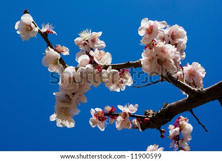 White cherry blossom against bright blue sky, Japan