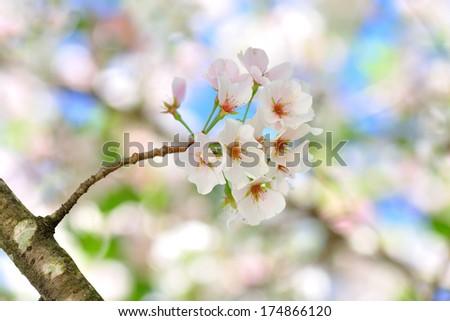 white cherry blossom blooming  - stock photo
