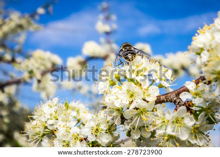 white cherry blossoms blooming in spring - stock photo