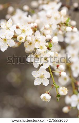 White cherry blossoms copyspace - stock photo