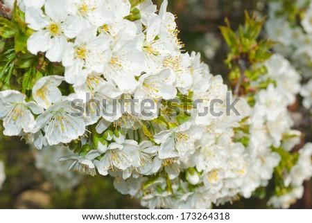 white cherry blossoms in full bloom - stock photo