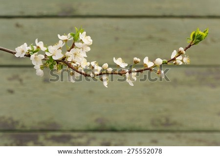 White cherry blossoms on branch against painted wall copyspace - stock photo