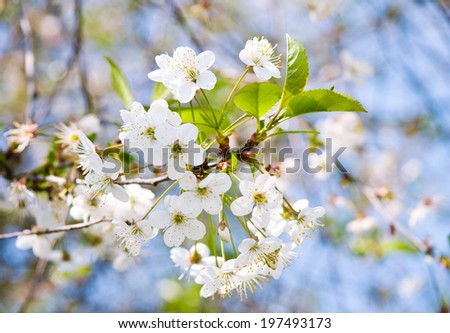 White cherry tree flowers, close up