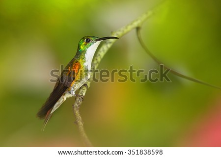 White-chested Emerald Amazilia brevirostris hummingbird from Trinidad perched on twig with colorful green and red blurred background. - stock photo