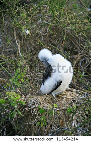 White chick frigate bird on the branch. Galapagos islands of Ecuador, South America. - stock photo