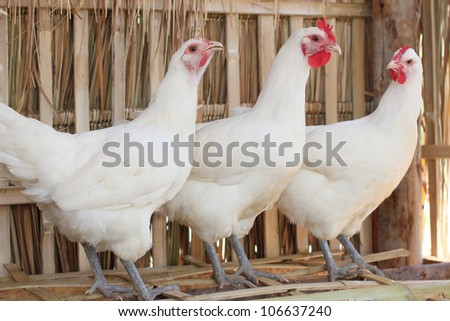 white chicken. - stock photo