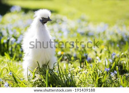 White chicken in the sunny garden - stock photo