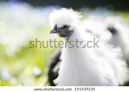 White chicken looks on the side - stock photo