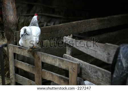 White chicken on black background