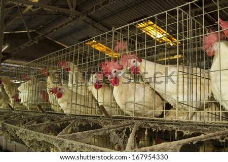 white chickens farm in cell sections - stock photo