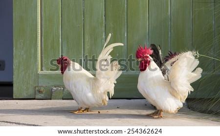 White Chickens  walk in front of been door - stock photo
