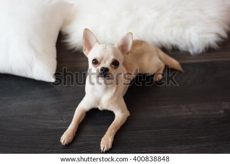 White chihuahua dog lying on a wooden floor, at home - stock photo