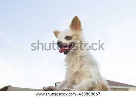 white chihuahua dog standing in box whit sky background