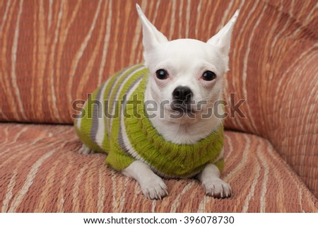 White Chihuahua  dressed with pullover lying on sofa, 3 years  old female.  - stock photo