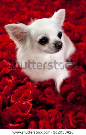 white chihuahua on a red rose background for valentines - stock photo