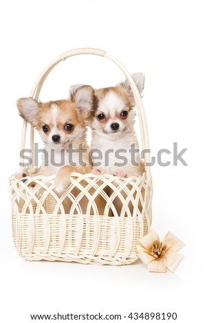 White chihuahua puppy in a basket (isolated on white) - stock photo