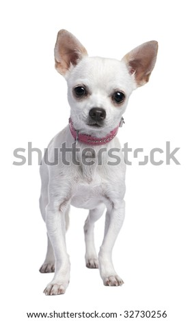 white chihuahua puppy wearing a pink collar (6 months old) in front of a white background