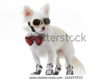 White chihuahua wear red bow tie and dark glasses is smart on isolated background.
