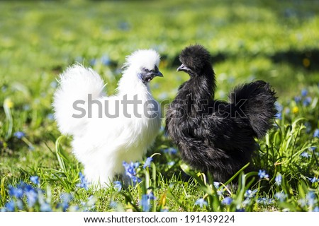 White chiken in front of the black one - stock photo
