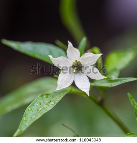 white chili flower  in the garden under rain - stock photo