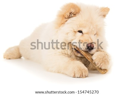 White chow chow with bone isolated - stock photo