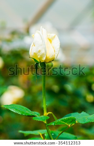 White Christmas Rose or White Rose in Garden, Thailand.