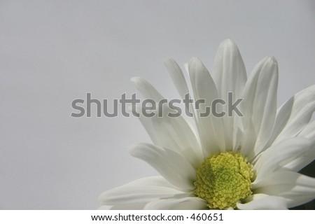 white chrysanthemum - stock photo