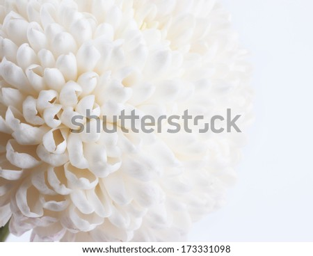 White Chrysanthemum close up - stock photo
