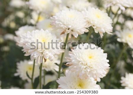White chrysanthemum flower. - stock photo