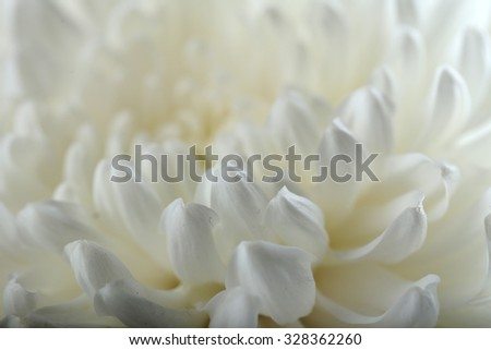 White chrysanthemum, macro