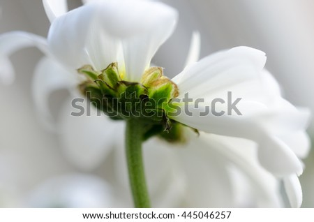White chrysanthemum on white-green background blur.